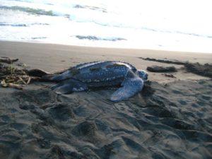 Puerto Viejo Costa Rica Local tour - turtle watching