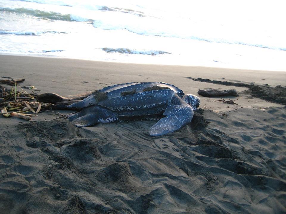 Puerto Viejo Costa Rica turtle